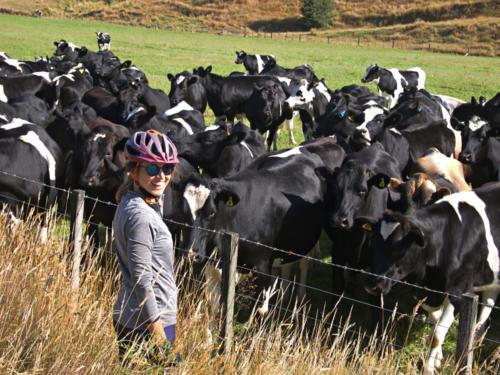 przyjazne krowy nowa zelandia reefton
