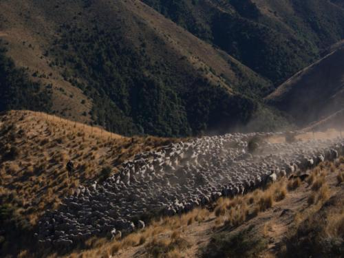 owce przepas nowa zelandia