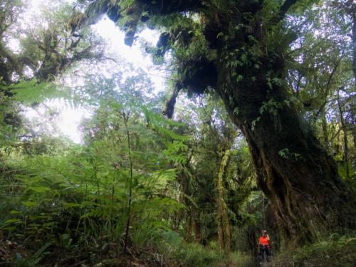 dorodny buk wysokie drzewo